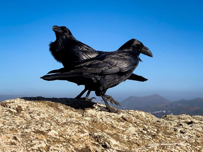 DancingCrows Bird Photography Bird Double Kiasmos Black Crow Animal Themes Animal Nature One Animal Blue Bird No People Solid Outdoors Side View Sunlight Clear Sky Full Length Animals In The Wild Land Vertebrate Animal Wildlife Sky Day Black Color My Best Photo