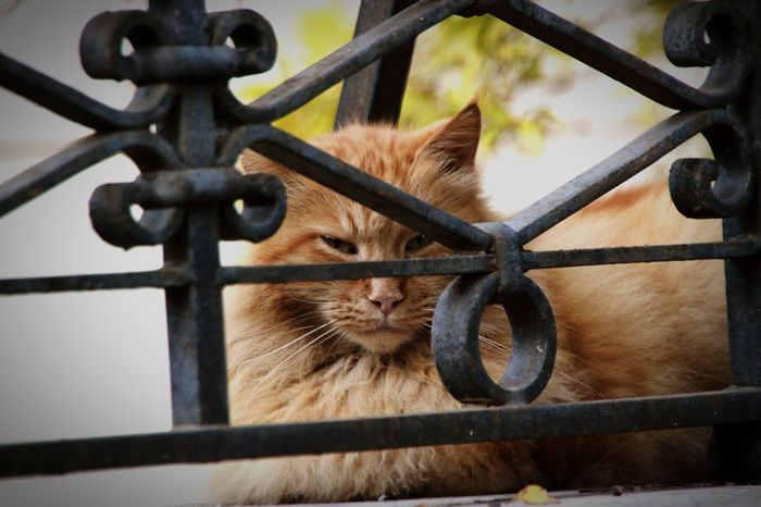 Shy cat peeping through metal bars Animal Themes One Animal Mammal Fence Focus On Foreground No People Close-up Domestic Animals Protection Pets Domestic Cat Outdoors Metal Day Feline Rome Cats Of Rome Wild Tired Sleepy Italy Urban Cat