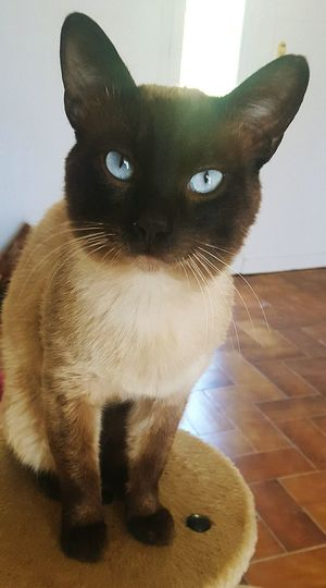 Domestic Cat Pets Feline Domestic Animals One Animal Portrait Looking At Camera Animal Themes Animal Mammal Whisker Indoors  Sitting No People Siamese Cat Day Cat Siamese Young