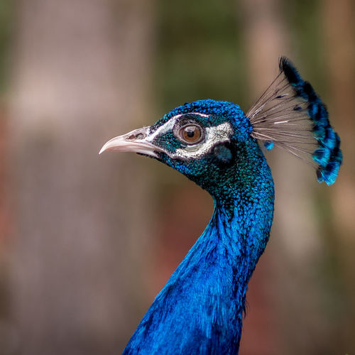 Close-up of a peacock