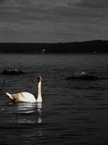 #blackandwhite #finland #landscape #reflection #summer #Swan #throwback