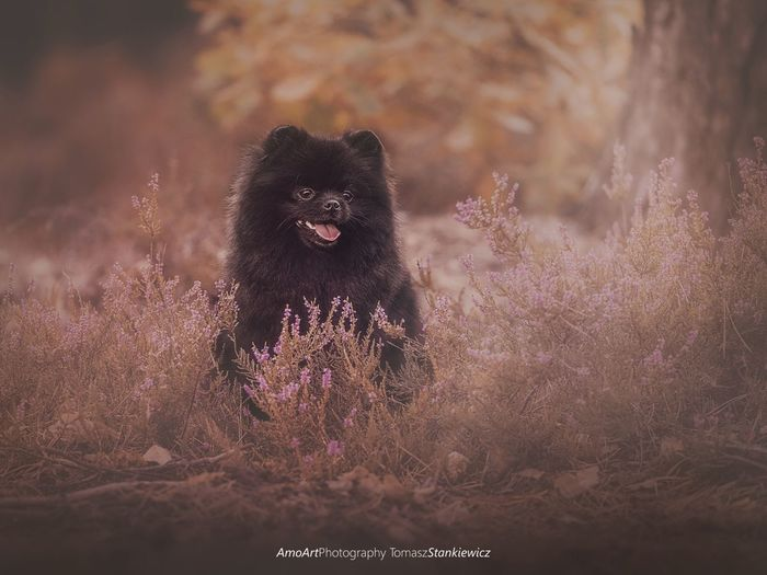 Frania Beauty Beautyful  Puppy Dog Dogs Pomeranian Spitz EyeEm Selects Friend Friendship Love Lovely Autumn Pets Happy Bird Of Prey Portrait Looking At Camera Leopard Defocused Baboon Close-up Animal Eye Yellow Eyes Eye Animal Hair Animal Face Animal Nose Eye Color Animal Head
