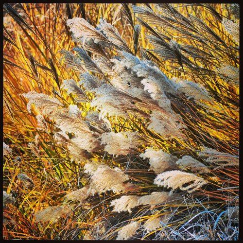 #cortaderia #PampasGrass #winter #january #feathery #plant #grass #flower #bloom #sun #backlight #SantaRosa #California Plant Santarosa Feathery Pampasgrass Cortaderia Sun Flower Winter Grass Bloom January California Backlight