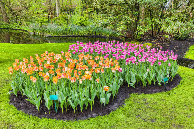 Tulips garden Flower Plant Flowering Plant Freshness Beauty In Nature Nature Flowerbed Green Color Park - Man Made Space Park Garden Multi Colored Land Springtime Ornamental Garden Outdoors Keukenhof Garden Keukenhof Beauty In Nature Spring Season  Seasonal Tulips Bloom Blooming Blooming Flowers Blooming In Spring