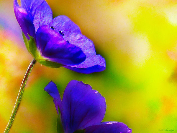 Nature Photography Beauty In Nature Blooming Blue Close-up Flower Flower Collection Flower Head Flower Photography Flowerlovers Fragility Freshness Growth Nature Nature_collection Naturelovers Petal Plant Purple Strong Colors Ladyphotographerofthemonth Naturephotography Nature_ Collection  FlowerLove 🌸 Flowerlovers🌷🌷🌷