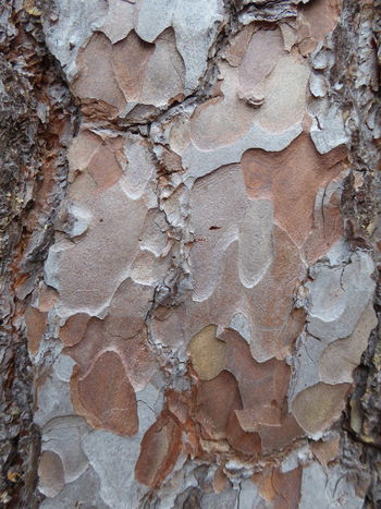 Backgrounds Close-up Full Frame Outdoors Pattern Patterns & Forms In Nature Pine Tree Rough Shapes & Designs In Nature Textured  Textures In Nature Tree Bark Tree Bark Close Up Tree Bark Patterns Tree Bark Texture Weathered
