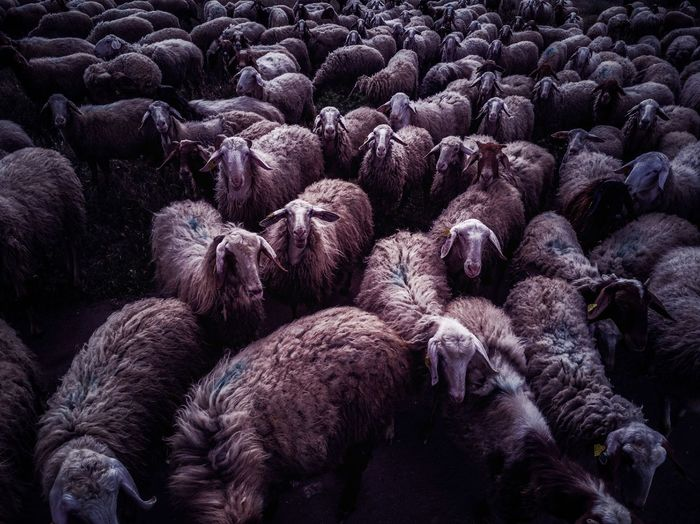 Millenial sheeps Sheeps Nature Nightmare Crowd Society Social Full Frame Backgrounds Purple
