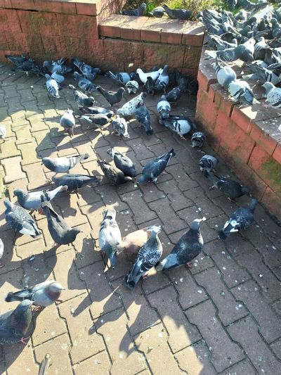 High angle view of pigeons on footpath