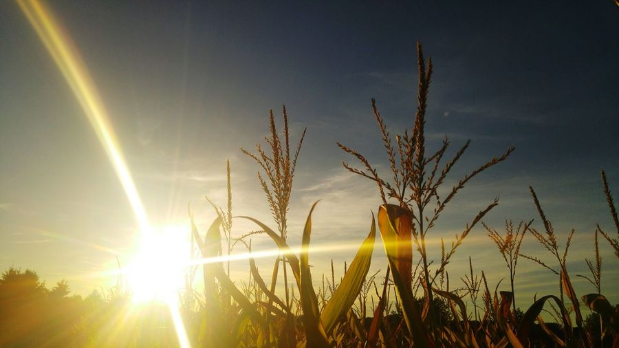 """Beauty is not a thing, it is a lifestyle"" Corn Field Sunset Sun First Eyeem Photo"