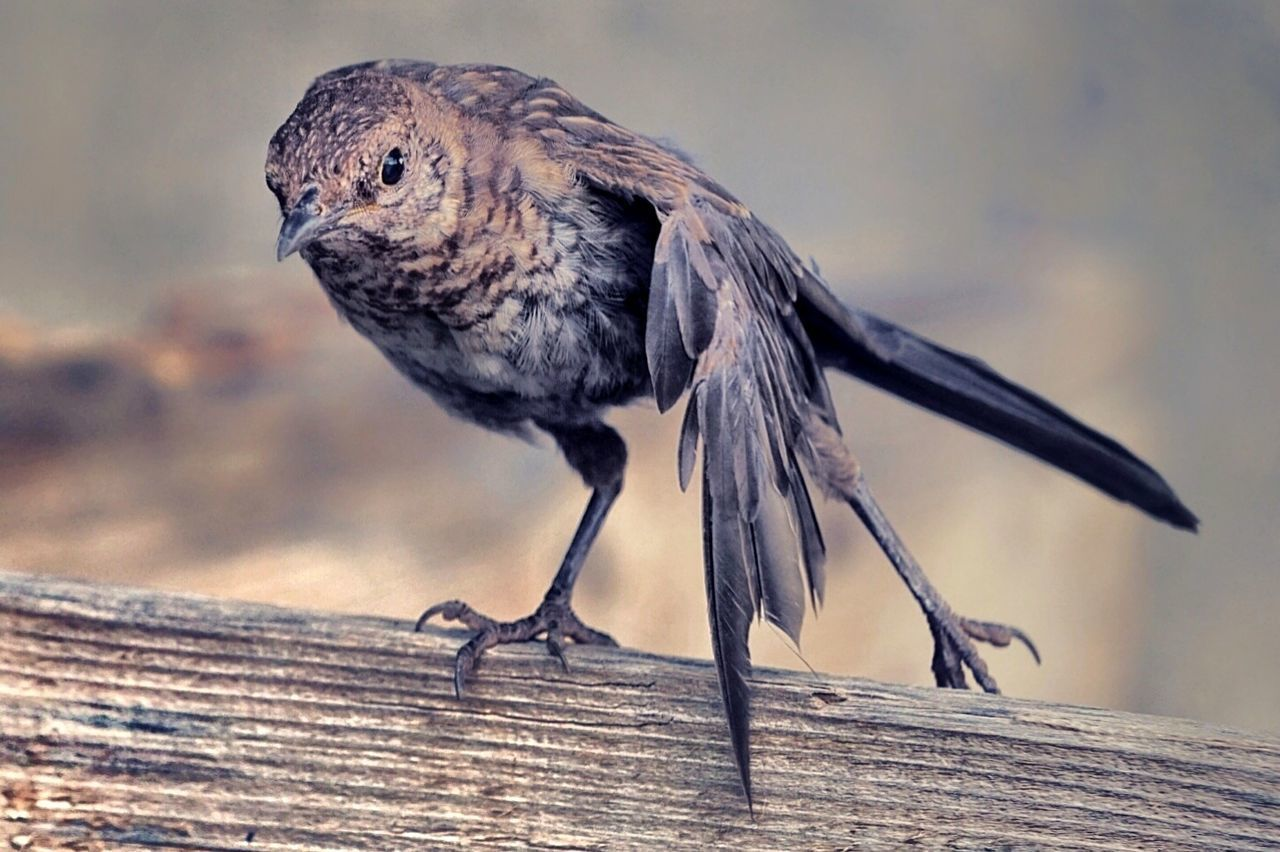 bird, wood - material, one animal, animal themes, focus on foreground, no people, close-up, animals in the wild, day, outdoors, perching, animal wildlife, nature, robin, full length, sparrow
