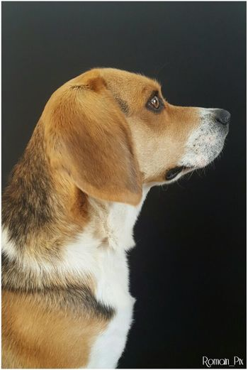 Dog Pets One Animal Domestic Animals Profile View Beagle Animal Themes Mammal Side View Studio Shot Black Background No People Portrait Close-up Day Beaglelove Mybeagle