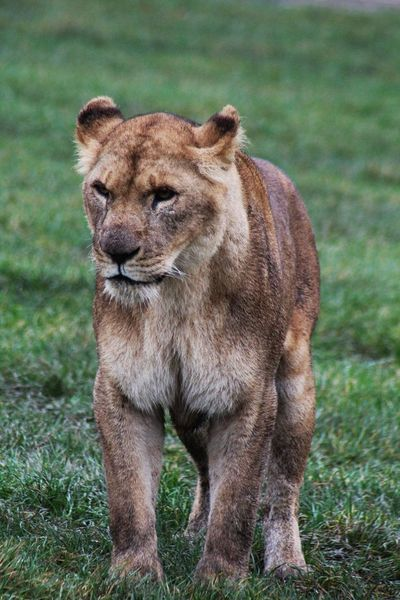Animal Themes One Animal Animals In The Wild Mammal Grass Animal Wildlife Field Day Nature Outdoors No People Safari Animals Portrait Lioness Lion - Feline Close-up Zoophotography Whisker ZooLife Safaripark Nature Zoo Animals  Zoo Photography  Zoology
