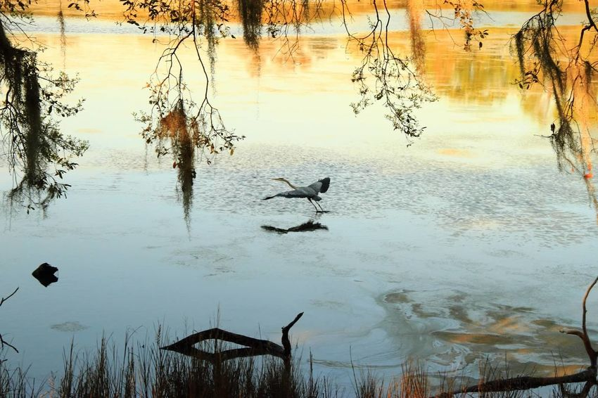 Animal Themes Animals In The Wild Beauty In Nature Bird Day Lake Nature No People Outdoors Reflection Scenics Sky Spread Wings Sunset Tranquility Tree Water