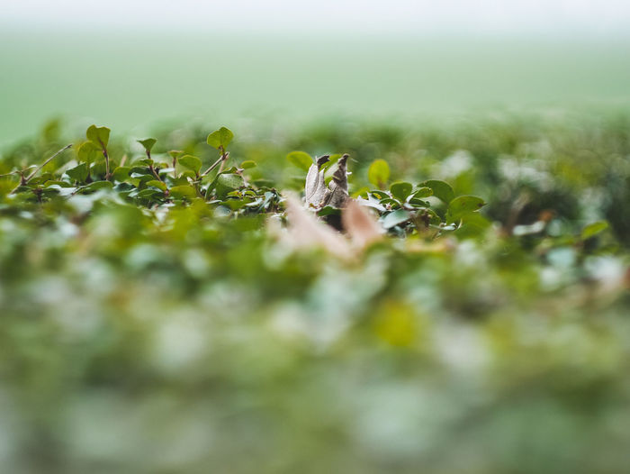 Selective Focus Growth Green Color Plant Nature No People Close-up Day Beauty In Nature Tranquility Outdoors Fragility Vulnerability  Field Leaf Plant Part Green Land Freshness Grass Surface Level