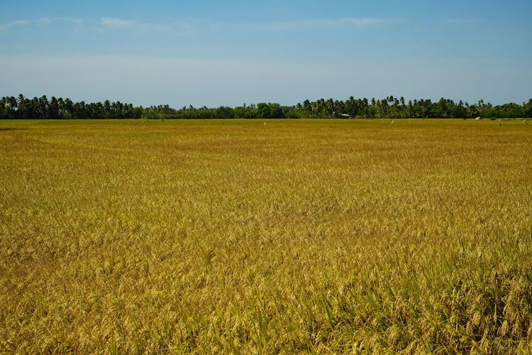 Rice Sky Plant Field Agriculture Landscape Tranquility Tranquil Scene Crop  Tree Environment Land Rural Scene Farm Scenics - Nature Nature No People Day Idyllic Growth Beauty In Nature