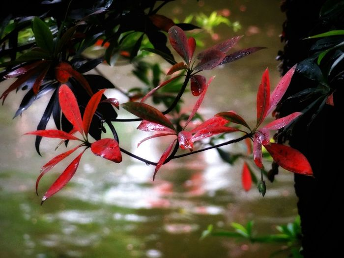 Leaf 🍂 EyeEm Best Shots - Nature Check This Out 😊 Red Mood Captures Water Reflection 🌈⭐🌠🌍🌞 Red Nature Growth Plant No People Beauty In Nature Water Leaf Close-up Flower Outdoors Fragility Day Freshness Bougainvillea Flower Head