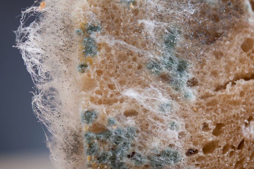 Waste of moldy bread zoom, portion of food with toxic mold or mould with plenty colored spores. Nobody, horizontal orientation. Bad Close-up Conidia Decay Decayed Decaying Food Fungus Garbage Hypha Hyphae Macro Mildew Mold Moldy Mould Mouldy Old Spoil Spoiled Spores Toxic Wastage Waste Wasted