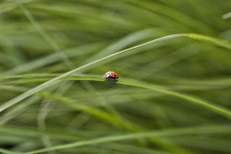 -LUCKY LADY- Ladybug Ladybug🐞 Bug Grass Green Nature Naturelovers Naturephotography Natgeo Giantimagery Macro Macrogardener Macro_captures Vscocam Society6 Pixel__earth Photoftheday Abugslife Snapseed Snapseedaily