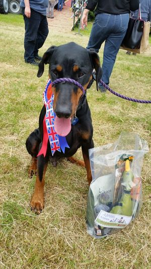 My old boy won first prize in the veteran class today....not bad for almost 11yrs old 😆 Dog Photography Dog Portrait Doberman  Pets Corner Pets Win Prizes Dog Show First Prize Days Out Dog Of The Day Veteran Old Boy