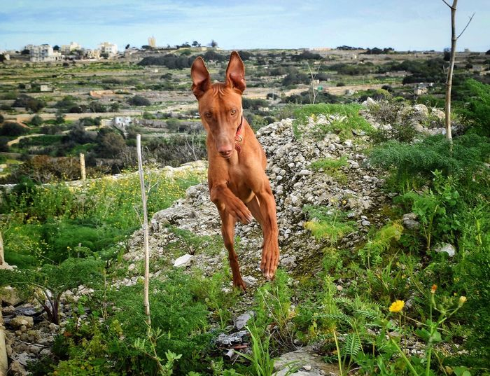 The pharaoh hound Animal Animal Themes Mammal Vertebrate Plant Domestic Animals Inner Power One Animal Field Land Livestock Nature Domestic Pets Brown No People Green Color Animal Wildlife Day Grass Sky Inner Power