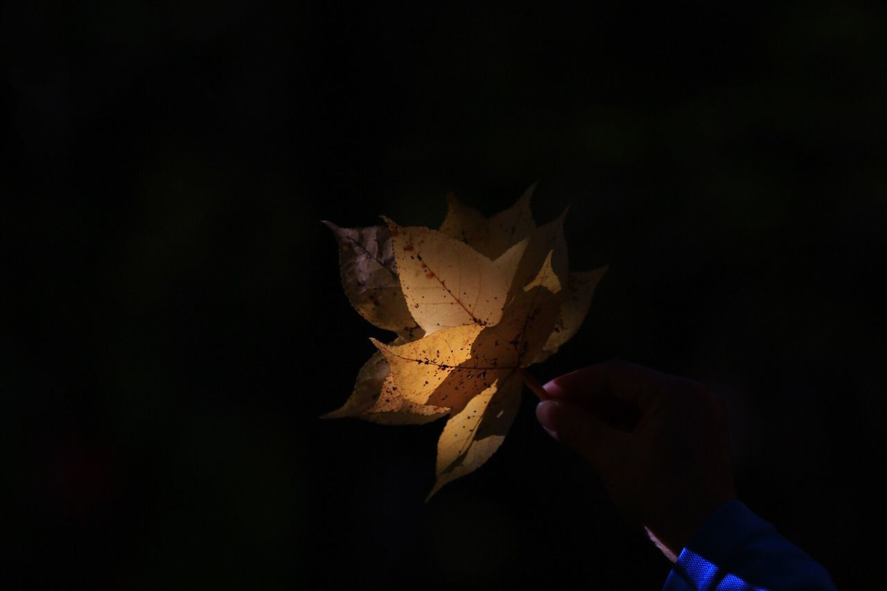 human hand, one person, autumn, leaf, human body part, change, real people, holding, close-up, lifestyles, maple leaf, outdoors, day, fragility, black background, maple, nature, people