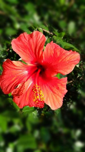 Flower Head Flower Hibiscus Red Petal Pink Color Water Close-up Plant