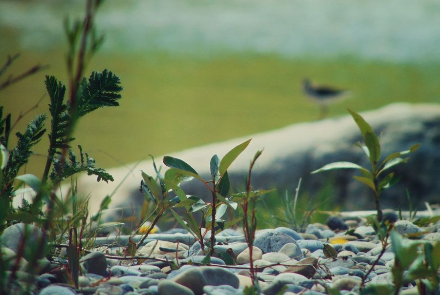 cute sandpiper...yay summer :) Animals Bird Bow River Focus On Foreground Green Nature Outdoors Plants River Rocky Beach Sand Piper Spotted Sandpiper Water