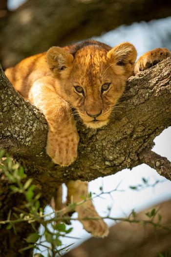 Portrait of lion cub resting on tree trunk