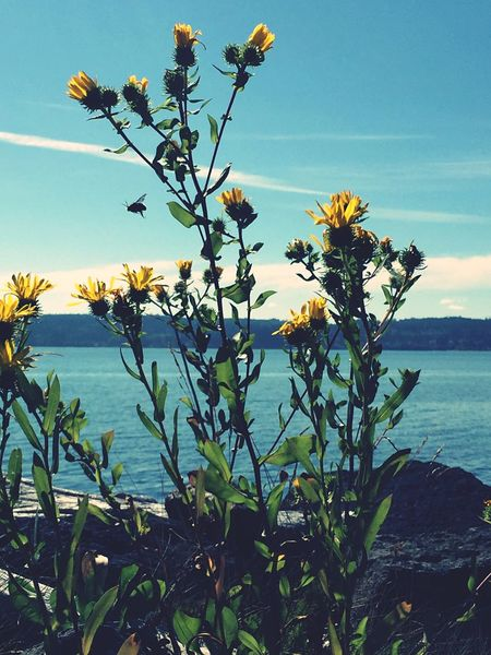 I think this is a sow thistle Sowthistle Flowers EyeEm Nature Lover Yellow Flowers Blooming See What I See Beauty In Nature Flowerporn Water Hood Canal Pacific Northwest  Wildflowers Wildflowers In Bloom