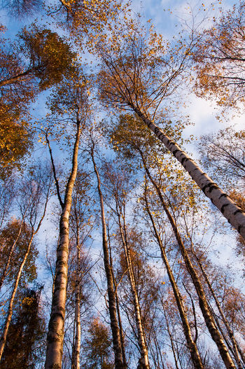 Autumn trees reaching the sky Autumn Nature Orange Sky And Clouds Beauty In Nature Birch Branch Day Fall Forest Growth Low Angle View Nature No People Outdoors Sky Sunrise Sunset Tranquility Tree Tree Trunk Yellow