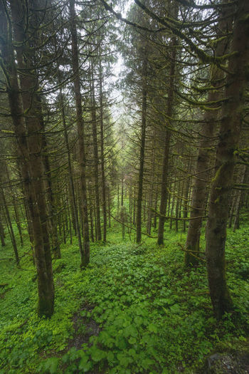 Pine forest at Krimml Waterfall, Austria. Beauty In Nature Coniferous Tree Environment Forest Growth Land Landscape Nature Outdoors Pine Woodland Plant Scenics - Nature Tree WoodLand