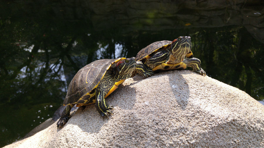 Low angle view of red eared slider turtles on rock in lake