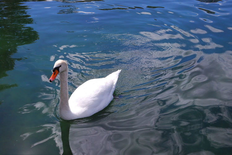 Gorgeous Swan Animal Themes Animal Wildlife Animals In The Wild Bird Day High Angle View Lake Nature No People Outdoors Swan Swimming Water Water Bird Waterfront White Color