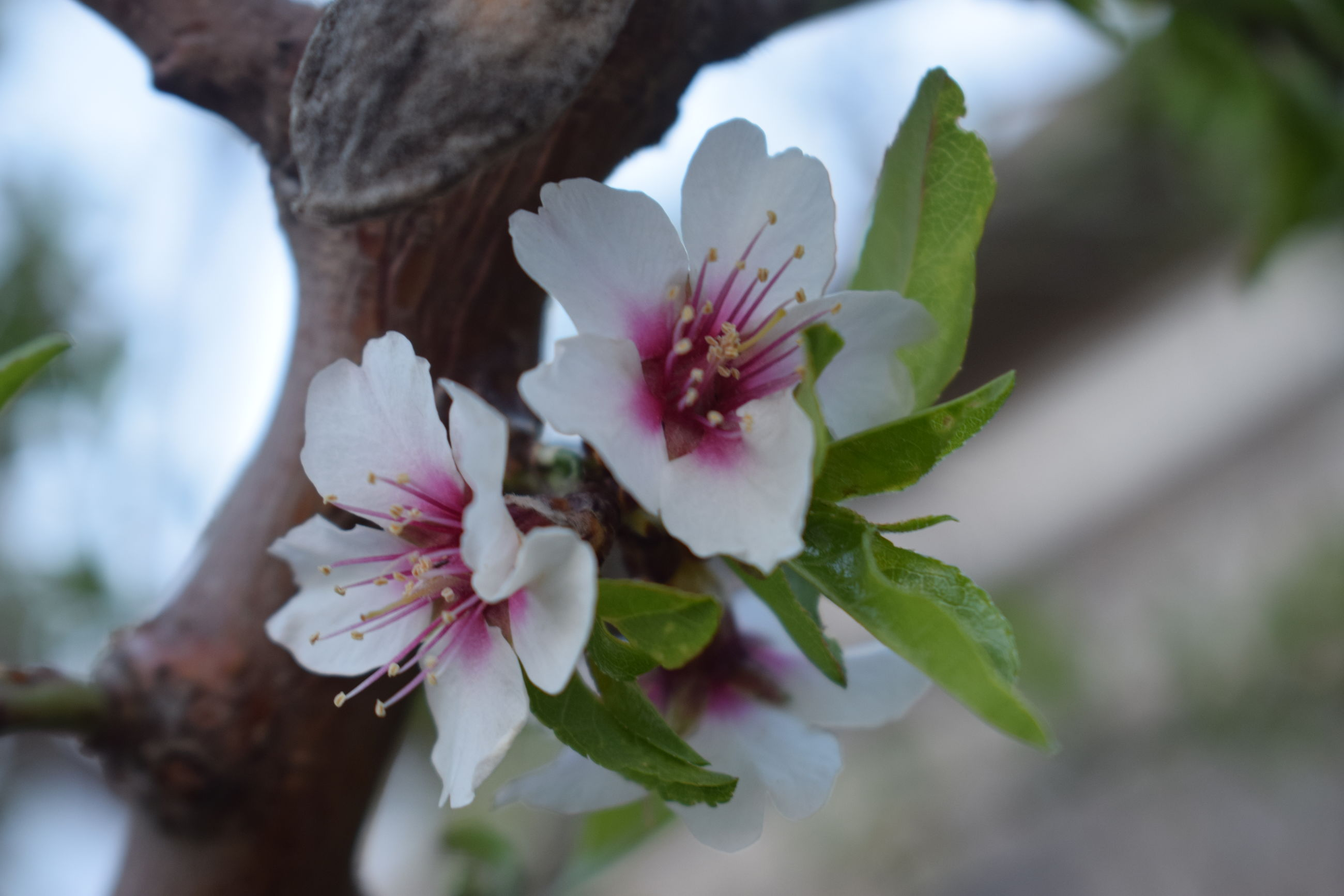 flower, flowering plant, plant, growth, beauty in nature, fragility, freshness, vulnerability, petal, close-up, plant part, leaf, inflorescence, nature, flower head, white color, selective focus, pink color, no people, day, pollen, outdoors, springtime, cherry blossom