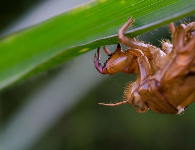 Close-up of cicada exoskeleton on plant