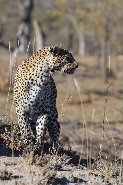 Leopard Leopardo Africa African Safari Sabi Sands Wildlife & Nature Wildlife Wildlife Photography Animals In The Wild Animal Photography Wilderness Wild Animal Wildlife Photos Animal Love Animal Collection Animal Portrait Animallovers Animal Themes