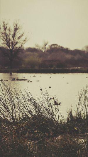 Ducks Pond