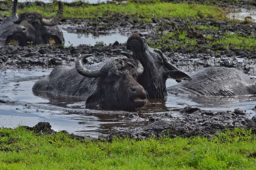 Water Grass Buffalo Horned Swamp
