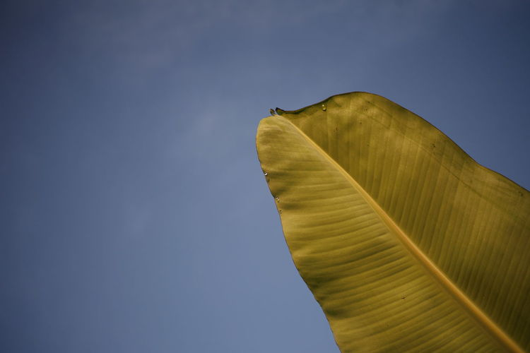 Low angle view of banana leaf against clear blue sky
