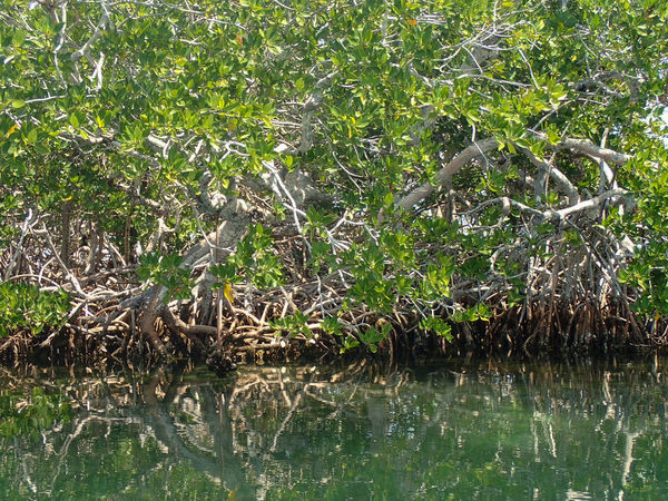 Beauty In Nature Close-up Day Green Color Growing Growth Idyllic Landscape Lush Foliage Mangroves Nature No People Non-urban Scene Outdoors Plant Reflections Scenics Tranquil Scene Tranquility Tree Water Belize  Travel Photography Travel Travel Destinations
