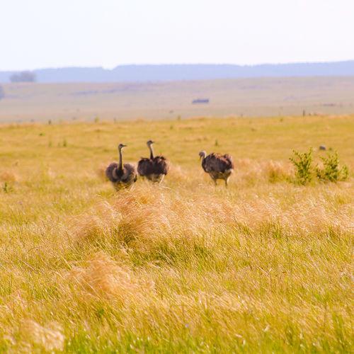 Ñandúes Nature Uruguay Campos Nandu Safari Animals Wildebeest Wilderness Grass Landscape