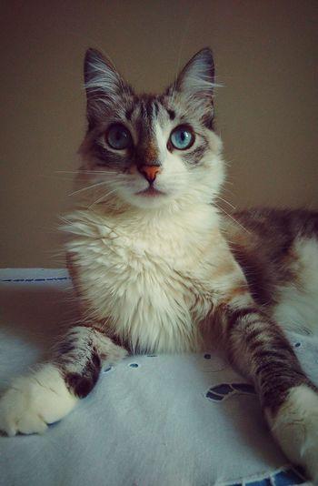 Amimals Cats Of EyeEm EyeEm Best Shots Blue Feline Mycat Taking Photos Hello World Pets Cat