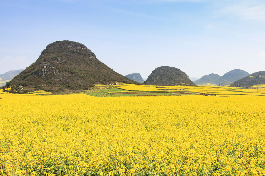 Rapeseed flowers of Luoping in Yunnan China ASIA Beauty In Nature Bees China Field Flower Growth Honey HoneyBee Landscape Luoping Minority Mountain Nature Rapeseed Rapeseed Blossom Rapeseed Field Rural Scene Scenics Tradition Tranquil Scene Tranquility Yellow Yunnan Yunnan ,China