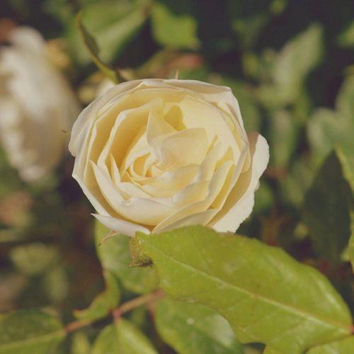 Rose Myweekofmood Mywanderingdiaries Salaamzindagi Vscopk vscopakistan vscocam vsco ig_pakistan bns_pakistan ThePPC pakistanphotochallenge Flowers floralepiphany flowersinmyframe flowerstagram floral white nothingisordinary
