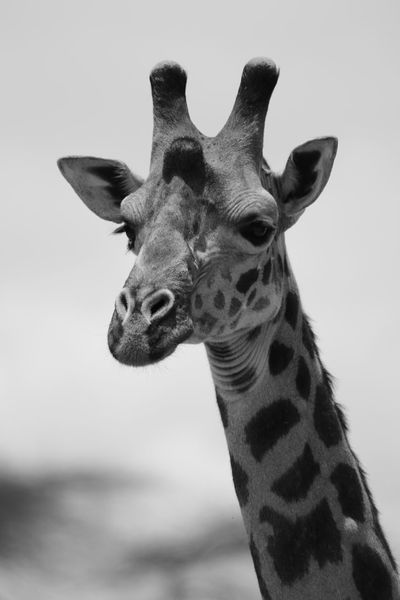 EyeEmNewHere Tarangire Wildlife Photography Tarangire National Park Tanzania Safari Blackandwhite Photography Blackandwhite Giraffe One Animal Animal Wildlife Animals In The Wild Animal Body Part Animal Head  Portrait Close-up No People Outdoors