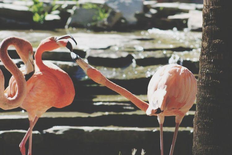 Nature Holiday Reisen Beauty In Nature Outdoors Animals Rosa Pink Pink Color Flamingo Flamingos In Water Travel Destinations Dominikanische Republik  Dominican Republic Punta Cana Karibik Caribbean Caribbean Flamingos Caribbean Love ❤ EyeEmNewHere