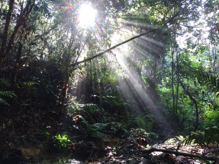 Malaysia Forest Trekking Beauty In Nature Forest Lens Flare Low Angle View Nature Outdoors Scenics Sun Rays Through Trees Sunbeam Sunlight Tranquility