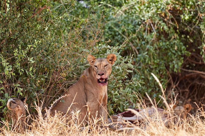 Lioness with a kill in samburu