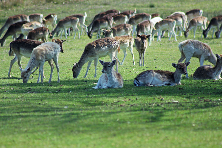 Deer Deers Bradgate Park Green Color Green Sunny Spring Animal Themes Grass British Culture My Best Photo