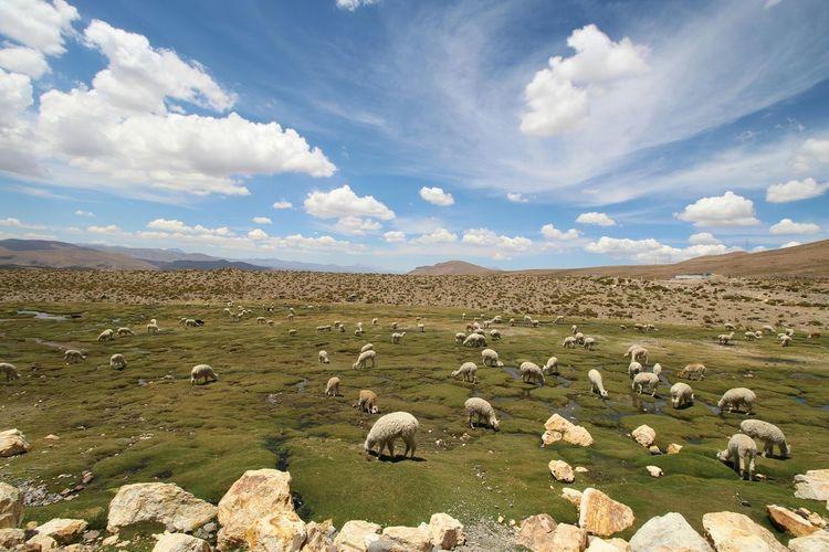 Lamas Grazing On Field Against Sky